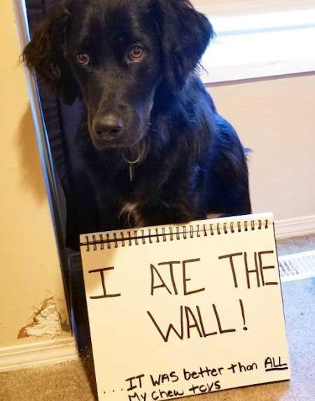 dog ate wall