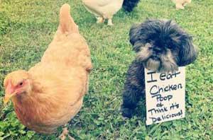 dog eats chicken poop and shamed for it