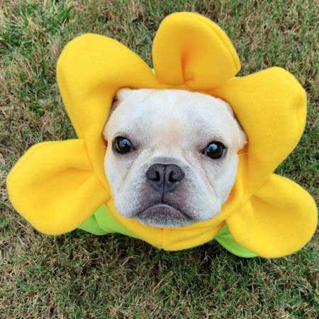 French Bulldog dressed up for Halloween as a flower