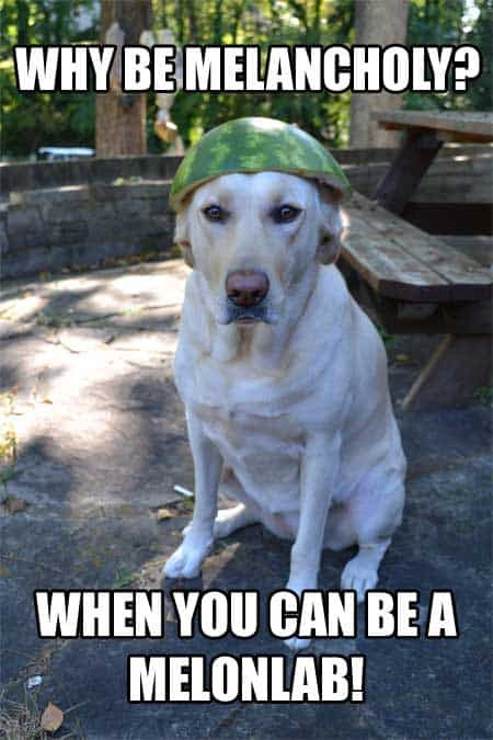 Funny Dog picture of a labrador with a melon on their head.