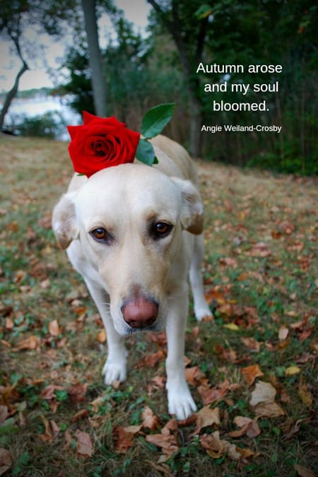 Yellow lab with a rose on it's head.