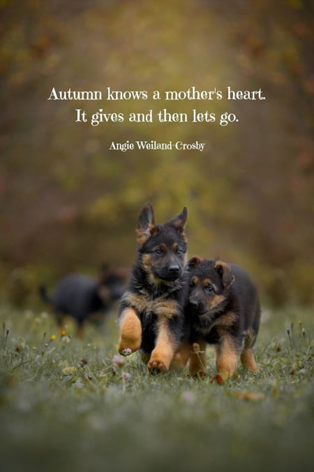 Fall quote, Autumn knows a mother's heart. It gives then lets go. Two GSD puppies.