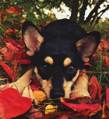 Cute dog in red autumn leaves