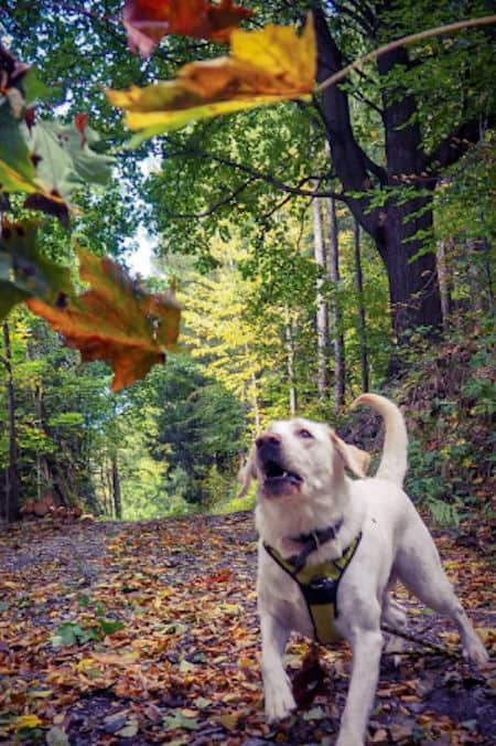 dog going after falling leaves