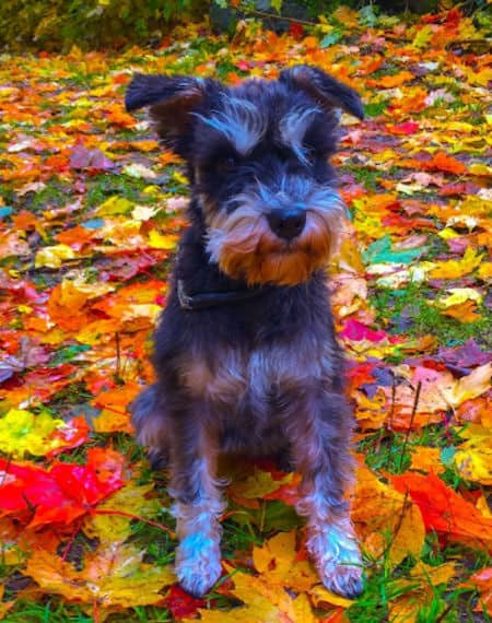 mini-schnauzer in awesome colored leaves