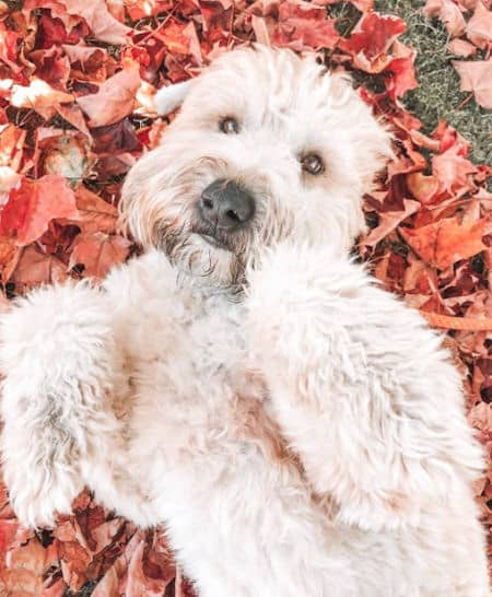 wheaten laying in a pile of leaves