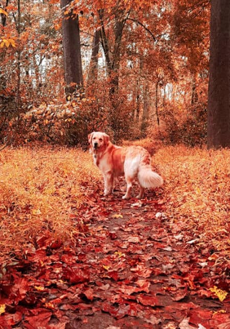 golden retriever in the woods during the Fall