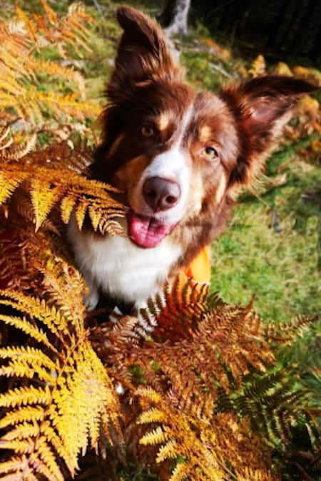 Border Collie in the changing colors of fall