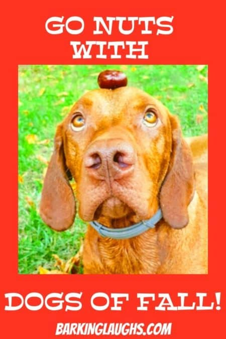 Funny autumn picture of a dog with a nut on their head.