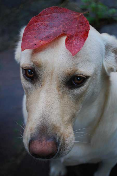 Cali the yellow lab with a red leaf on her head