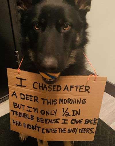 Deer Chasing GSD