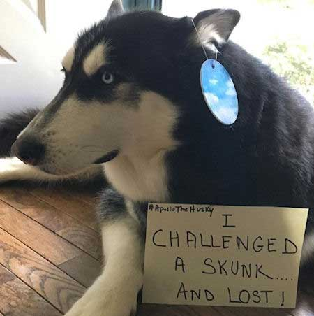 Husky lost to a skunk