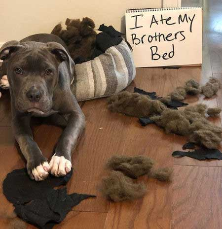 Dog ate brother's bed