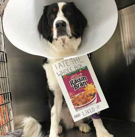 dog ate whole box of raisin bran