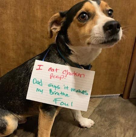 funny dog ate chicken poop