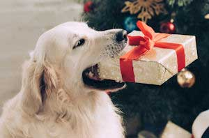 Dog with a Christmas gift in their mouth