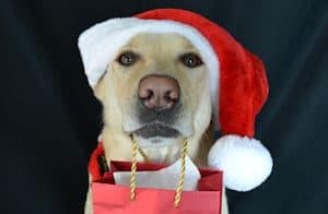 Labrador in a santa hat holding a present