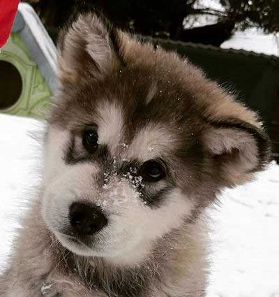 puppy malamute in the snow