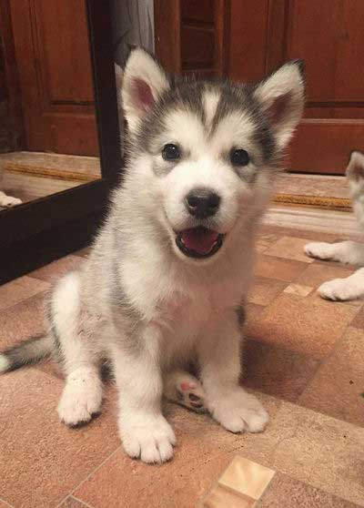 cute little malamute puppy