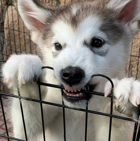 Funny Puppy Picture of an Alaskan Malamute