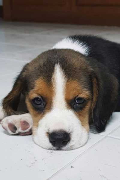 Beagle Pup laying on the floor