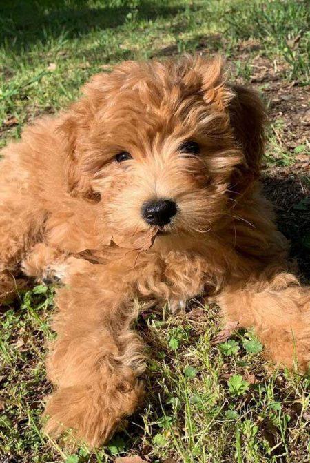 cute spoodle puppy
