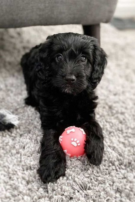 Black puppy Spoodle with a ball
