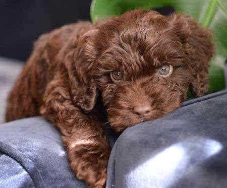 little chocolate cockapoo puppy