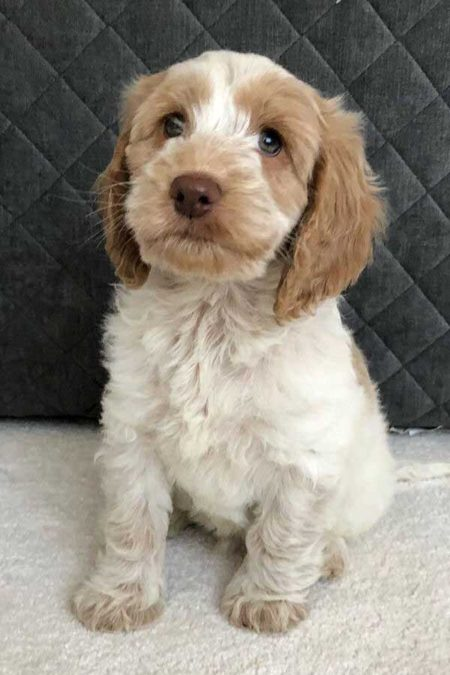 Cute little cacapoo puppy