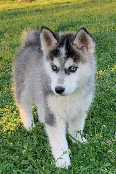 black and white pup with blue eyes