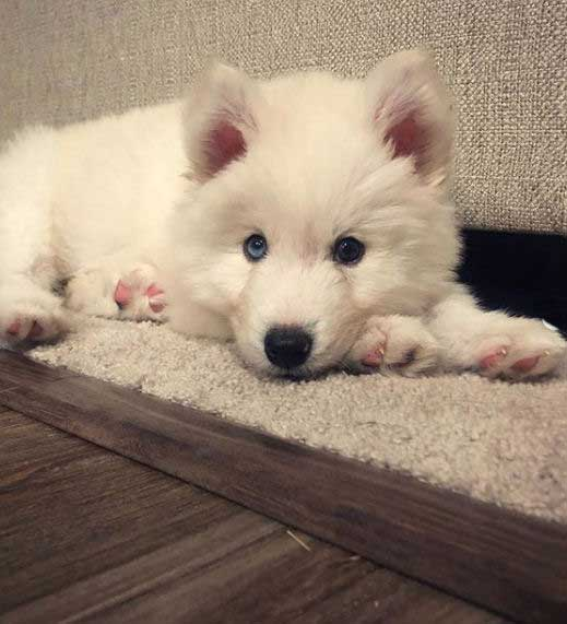 white siberian puppy with blue eyes