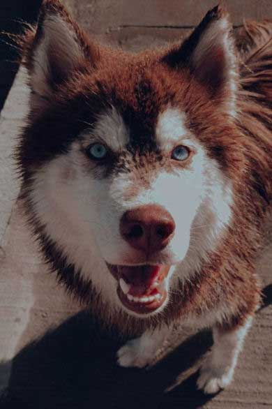 Badass Red Husky with blue eyes