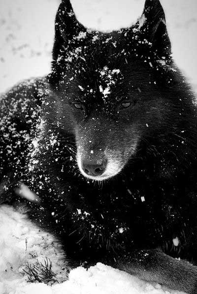 Awesome black siberian in the snow