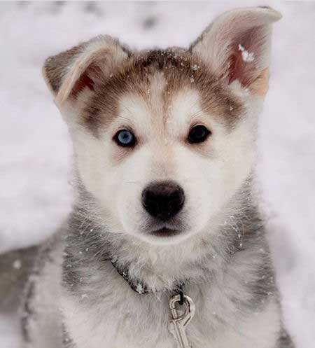 Awesome Shepsky puppy with two different eyes