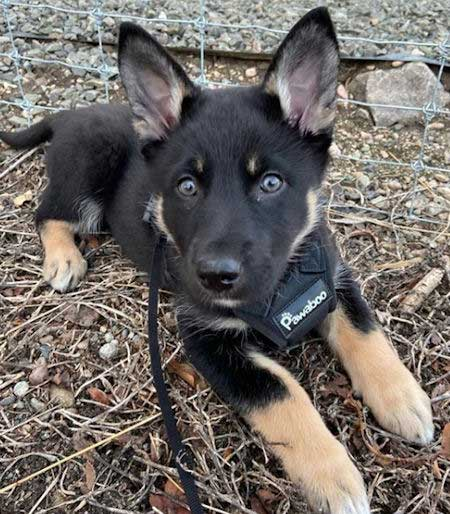 Kida the Shepsky puppy laying on the ground