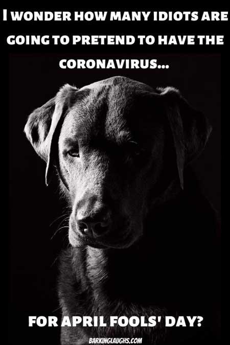 Labrador Coronavirus meme