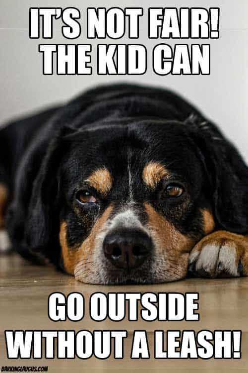 Jealous dog meme wants to go outside without a leash