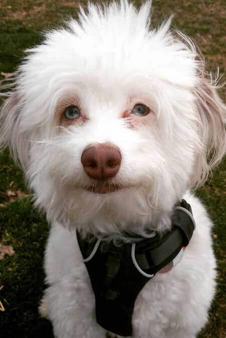 white mini aussiedoodle pup