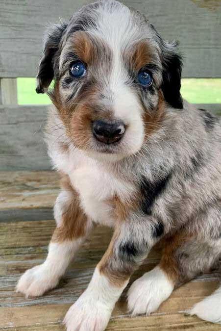 Aussie Doodle puppy with blue eyes
