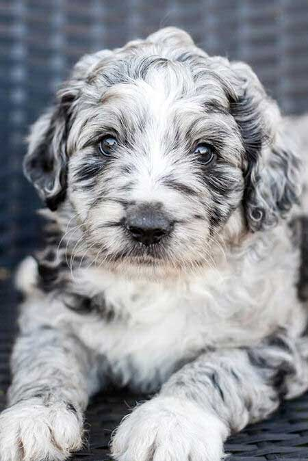 Awesome Aussiedoodle merle puppy
