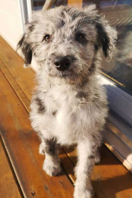 cool looking aussiedoodle