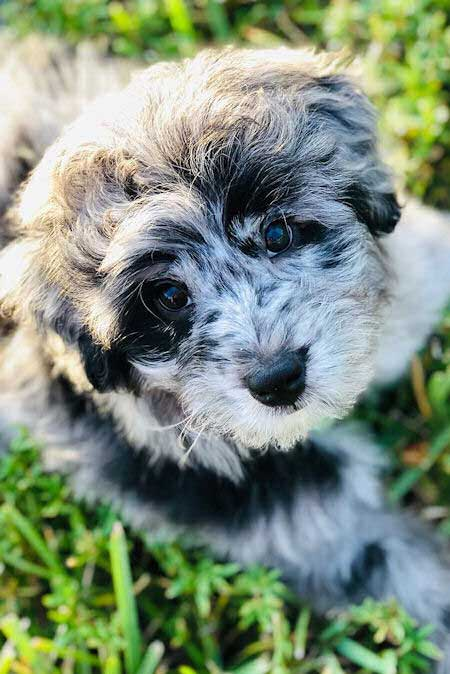 Blue Jay the aussiedoodle puppy