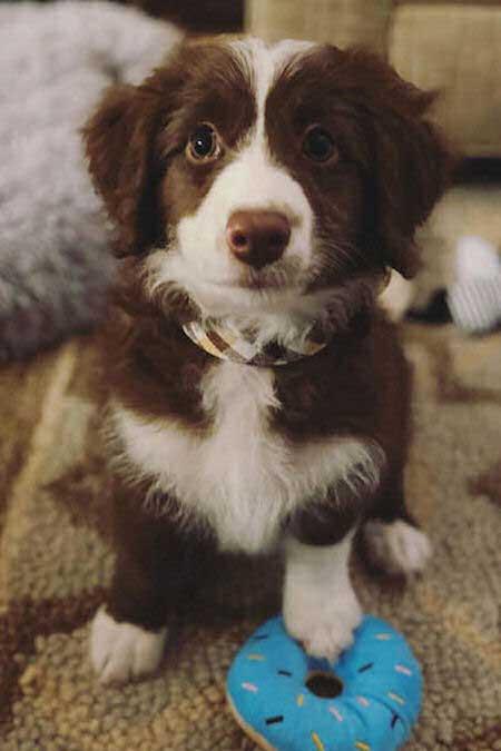 Skipper the aussiedoodle puppy