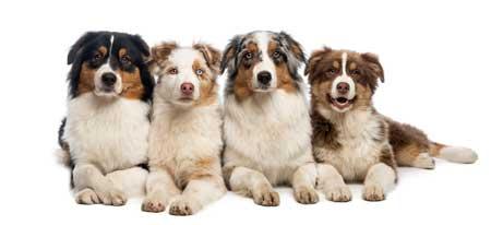 4 Australian shepherds