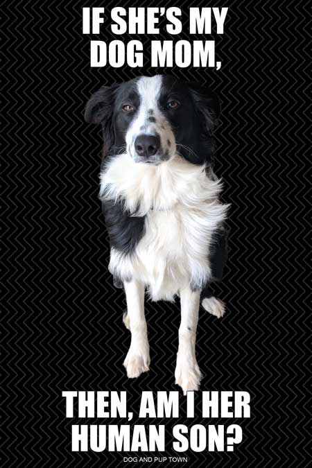 border collie dog meme