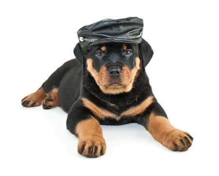 baby rottie with leather hat