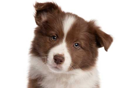 brown and white puppy